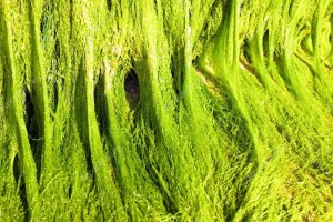 algas-marinas-verdes